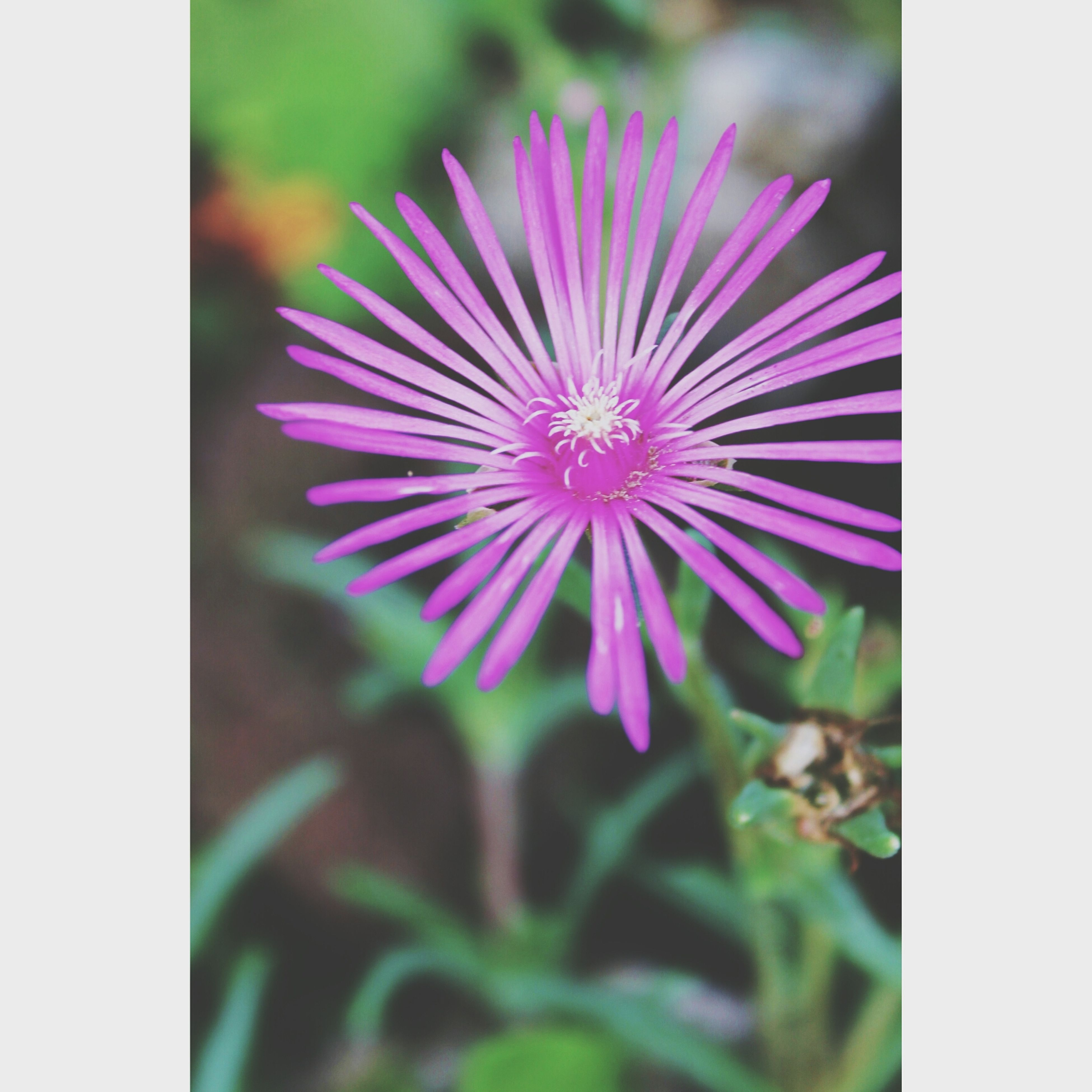 flower, petal, freshness, fragility, flower head, transfer print, growth, beauty in nature, blooming, purple, single flower, auto post production filter, close-up, nature, plant, focus on foreground, pollen, in bloom, pink color, selective focus