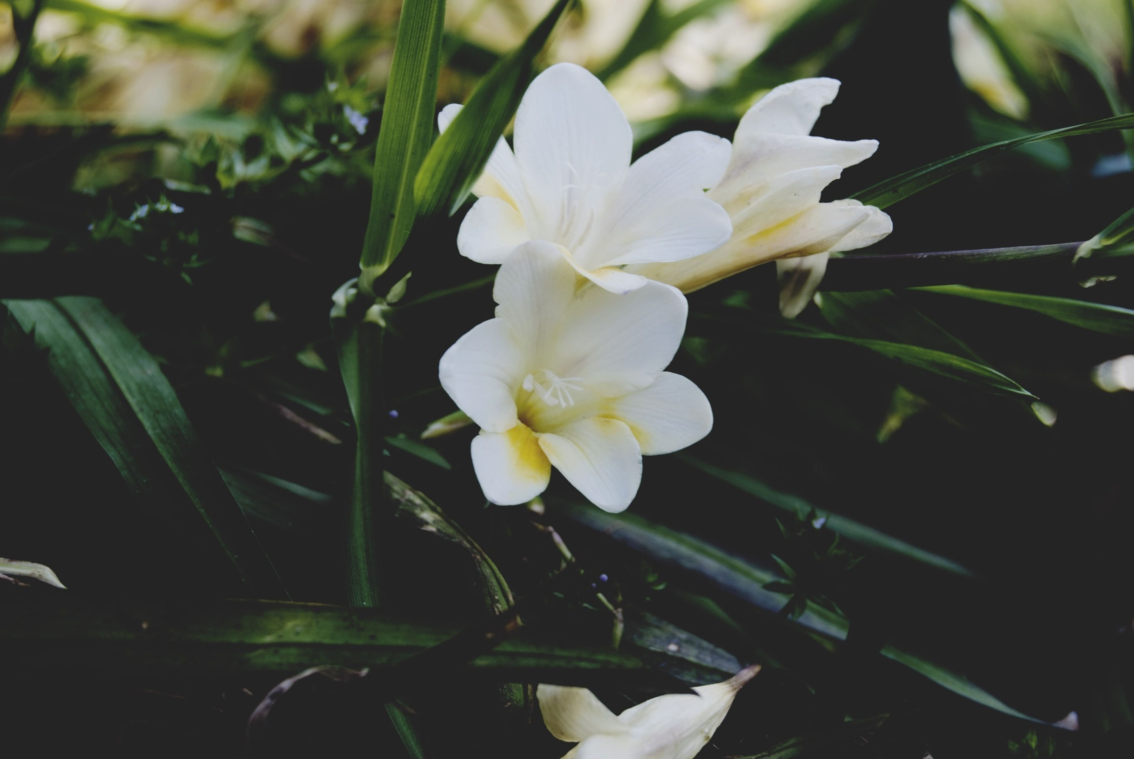 flower, petal, freshness, white color, flower head, fragility, growth, beauty in nature, blooming, focus on foreground, close-up, plant, nature, white, field, in bloom, stem, outdoors, no people, leaf