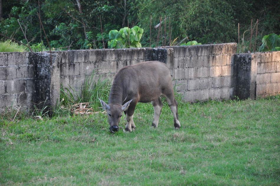 Carabao Gentle Giant Grass Grazing Mammal Nature Nature Photography Philippines