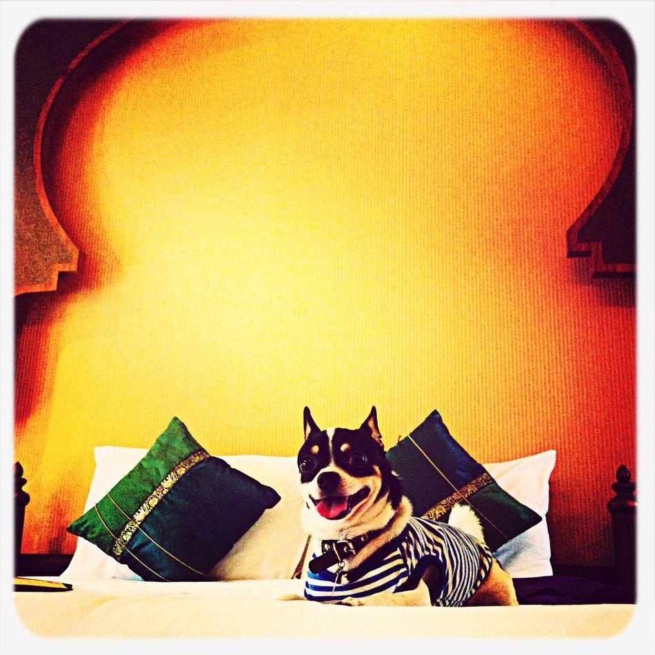 Chihuahua I Love My Dog Cute Pets