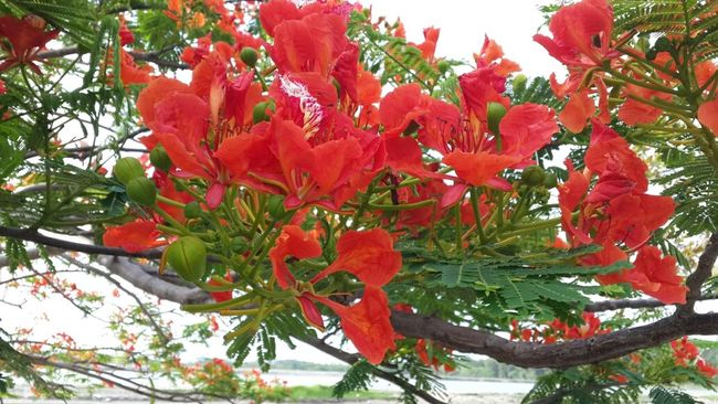 Flower Streamzoofamily LoveNature hermosas flores de flamboyan