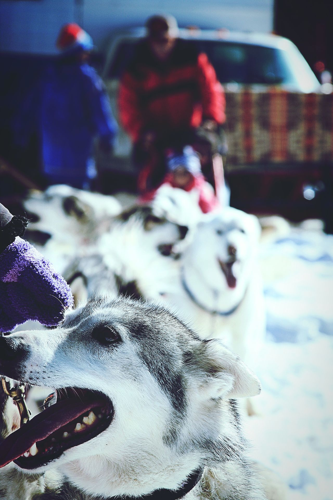 Snow Sports Winter Outdoors Sports Race People Day Live, Love, Laugh Random Acts Of Photography Sledding Enjoying Life Winter Portrait Child Beauty In Nature Sports Track Huskyphotography Huskylife Snowdogs