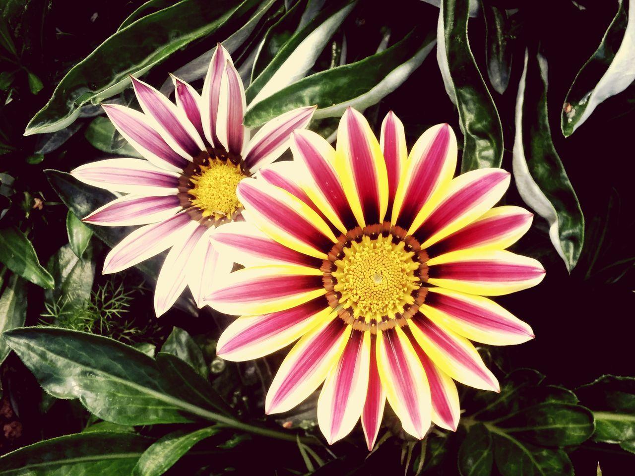 Mittagsblumengewächs Mittagsblume Flowers Flowerporn Flower Collection Flower Head Flowers,Plants & Garden Flower Photography Garden Photography Garden Gardening Garden Flowers Gardenia