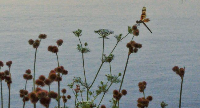 Fragility Relaxing Wild Flowers And Insects Beauty In Nature Golden Hour Art By Nature Libelula Just Before Dusk Relaxing Art And Nature Wildlife & Nature Nature's Diversities