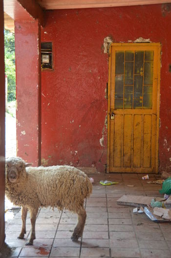 Nikon Paint The Town Yellow Animal Themes Architecture Building Exterior Built Structure Day Door House Livestock Mammal No People One Animal Outdoors Sheep Yellow