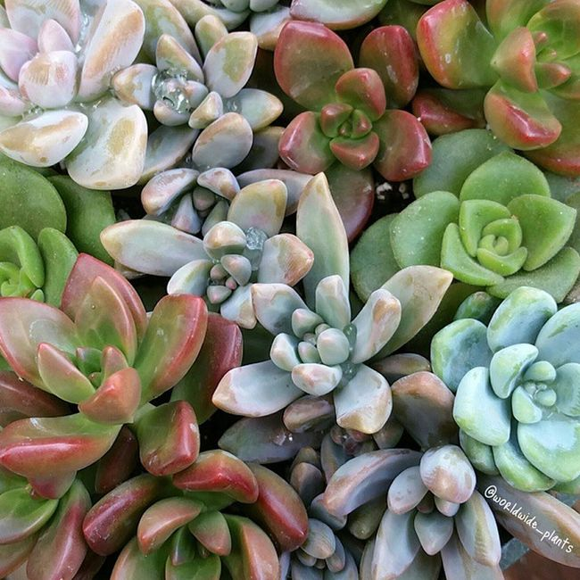 Everything looks so happy after a little rain ☔🌈💛🌵 Pachyveria Sedeveria Sedum Aeonium Graptopetalum Succulent Succulents_only Succulove Mygarden Plant_addiction Plantlife Plantsforsale WorldWidePlants