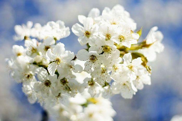 Springtime Spring Frühling Kirsche Kirschbaum Kirschblüte Weiße Blüten Weiss Blauer Himmel Sommer Sonne Sun Flower Blossom White Color Fragility Nature Close-up Outdoors