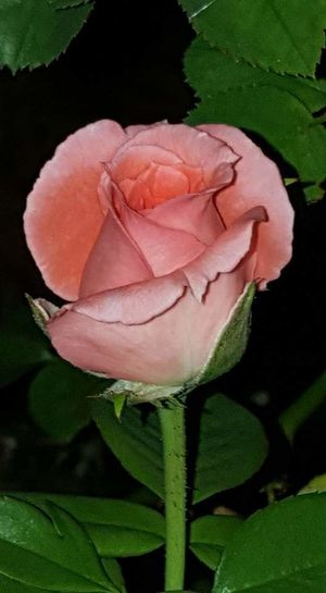 Rose🌹 Rose Pink Beauty Rose Pink Taking Photos Check This Out Eye4photography  Photography First Eyeem Photo Roses_collection Nature Photography