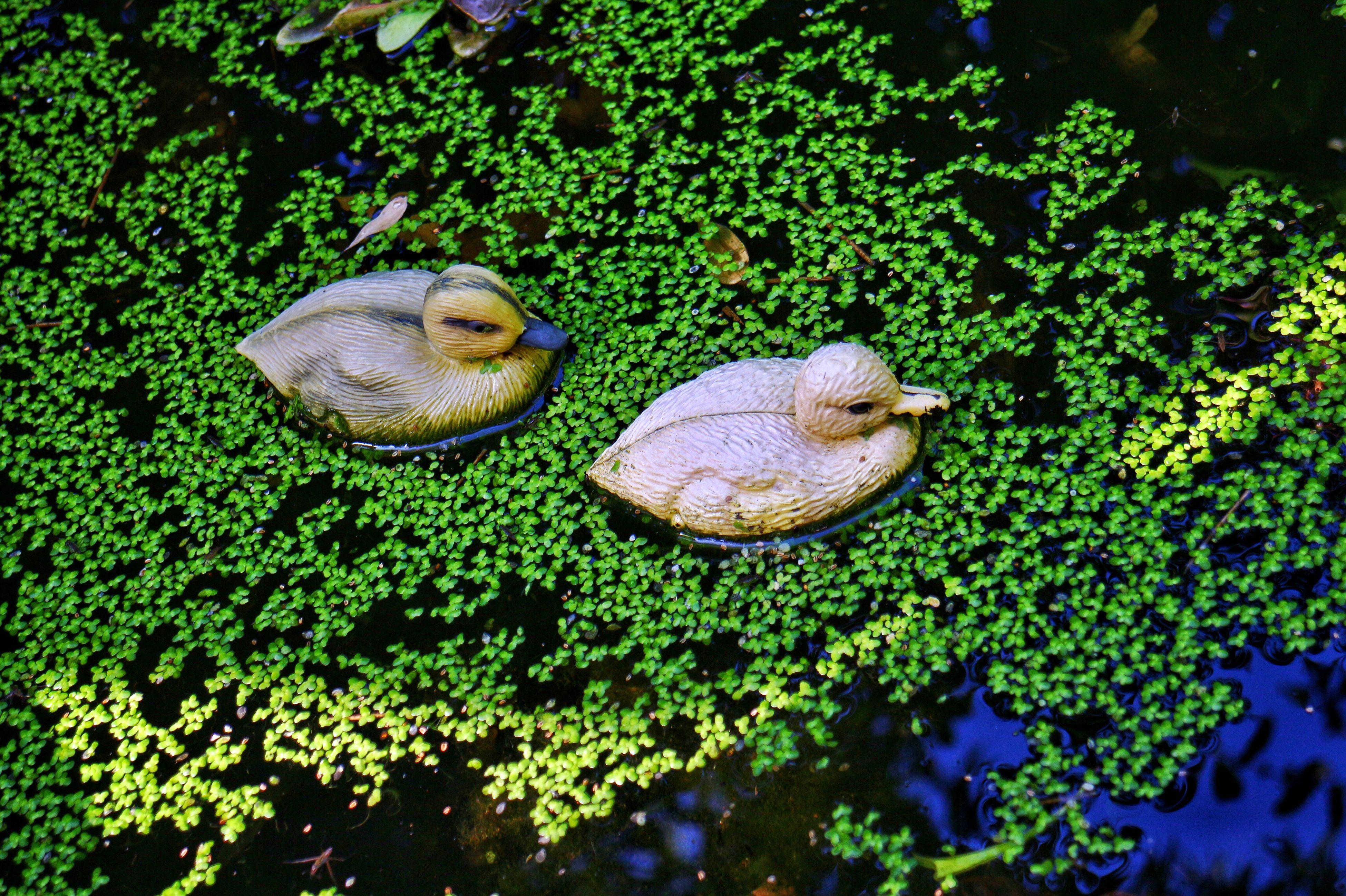 Ducklings Rubber Ducklings Rubber Duckies Duckies Lures Fresh On Eyeem  Pond Duckweed Relaxed Scene Relaxing Scene Funny Hunting Lure