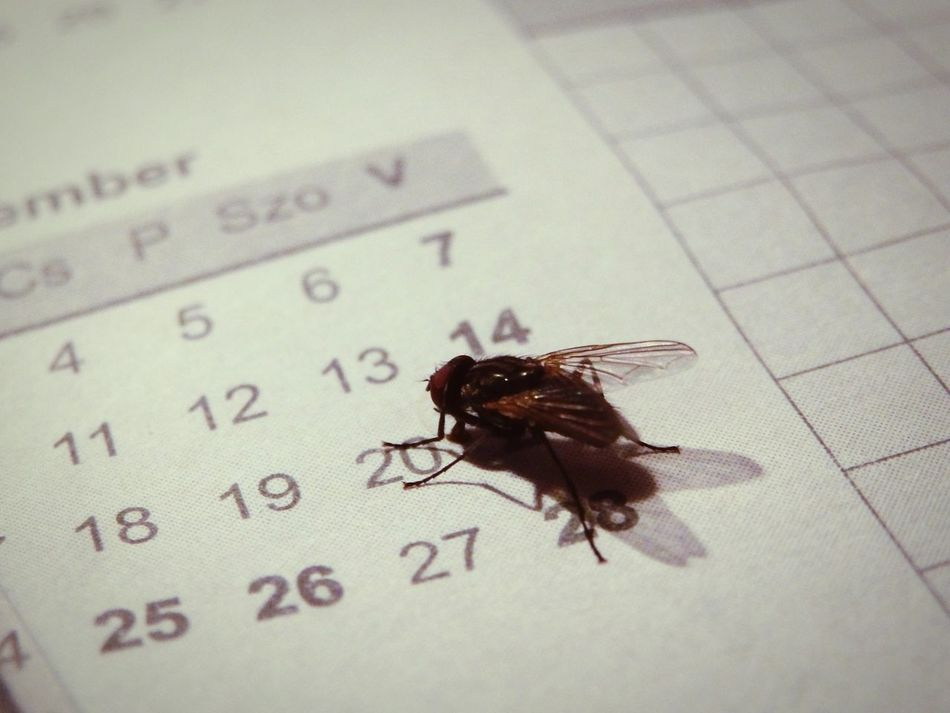 Fly on my calendar Insect Photography Insect Paparazzi Calendar InMyOffice Fly Eyeem Hungary Légy
