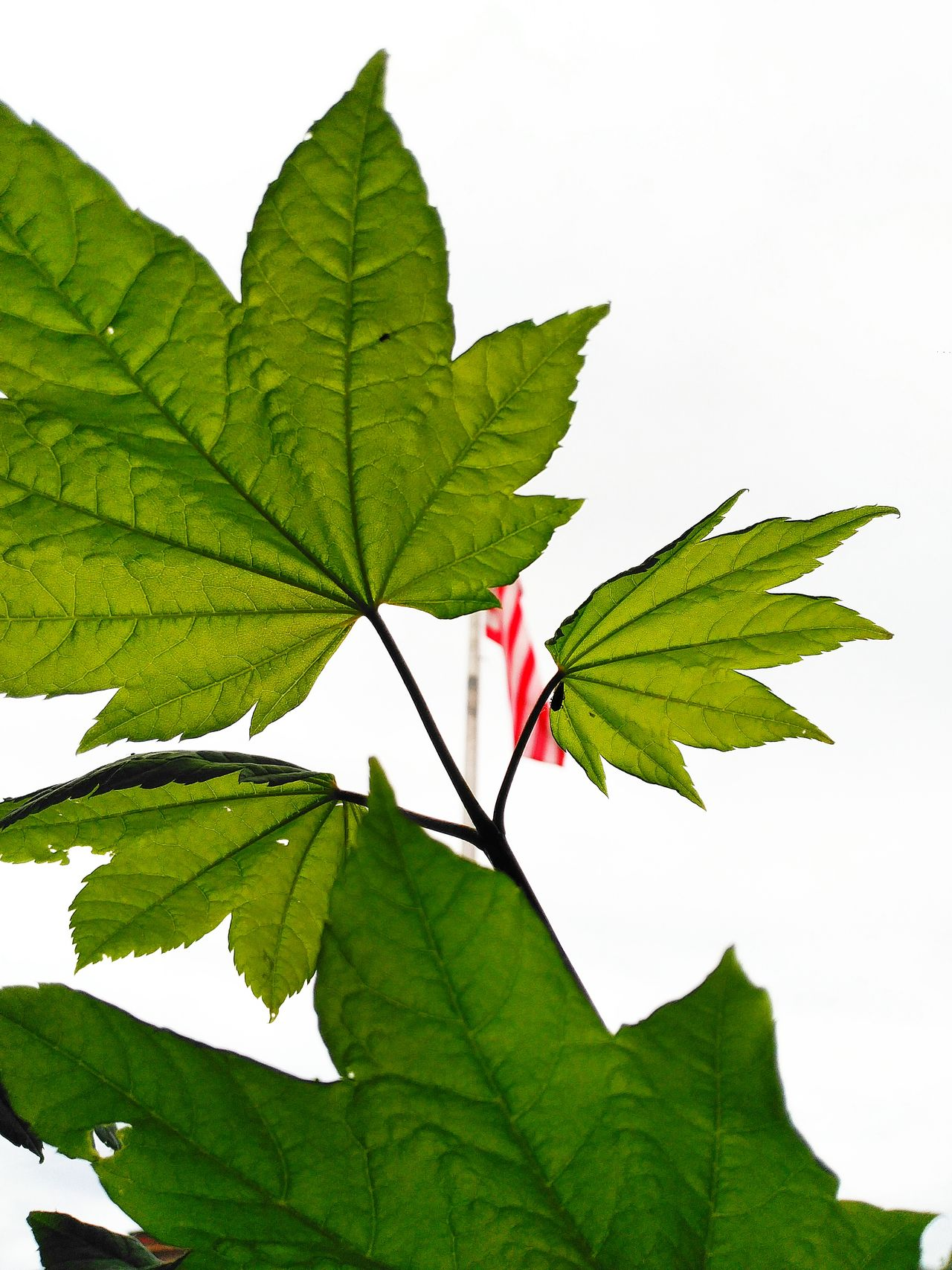 Maple Leafs. United States Flag With Mother Nature. Check This Out Enjoying Life Relaxing Nature Photography Taking Photos Maple Leaf Green Color Red Color White Color Black Color Maple Leaf And The Sky Maple Leaf And United State Flag