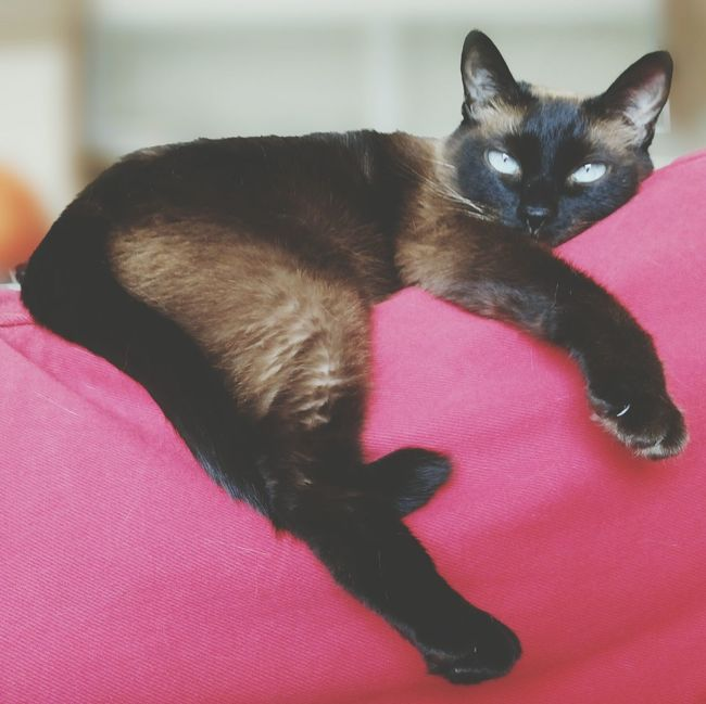 Relaxing Siamesecats Check This Out Popular Photos Pastel Power Catoftheday Cats Of EyeEm Cat Of The Day Cat Lovers Blue Eyes Sonyphotography Catsofeyeem Cats Sony Sony Xperia Photography SiamesecatSony Mobile Cat Photography StockphotoCheck This Out Cat Eyes Cat Siamese Cat Siamese