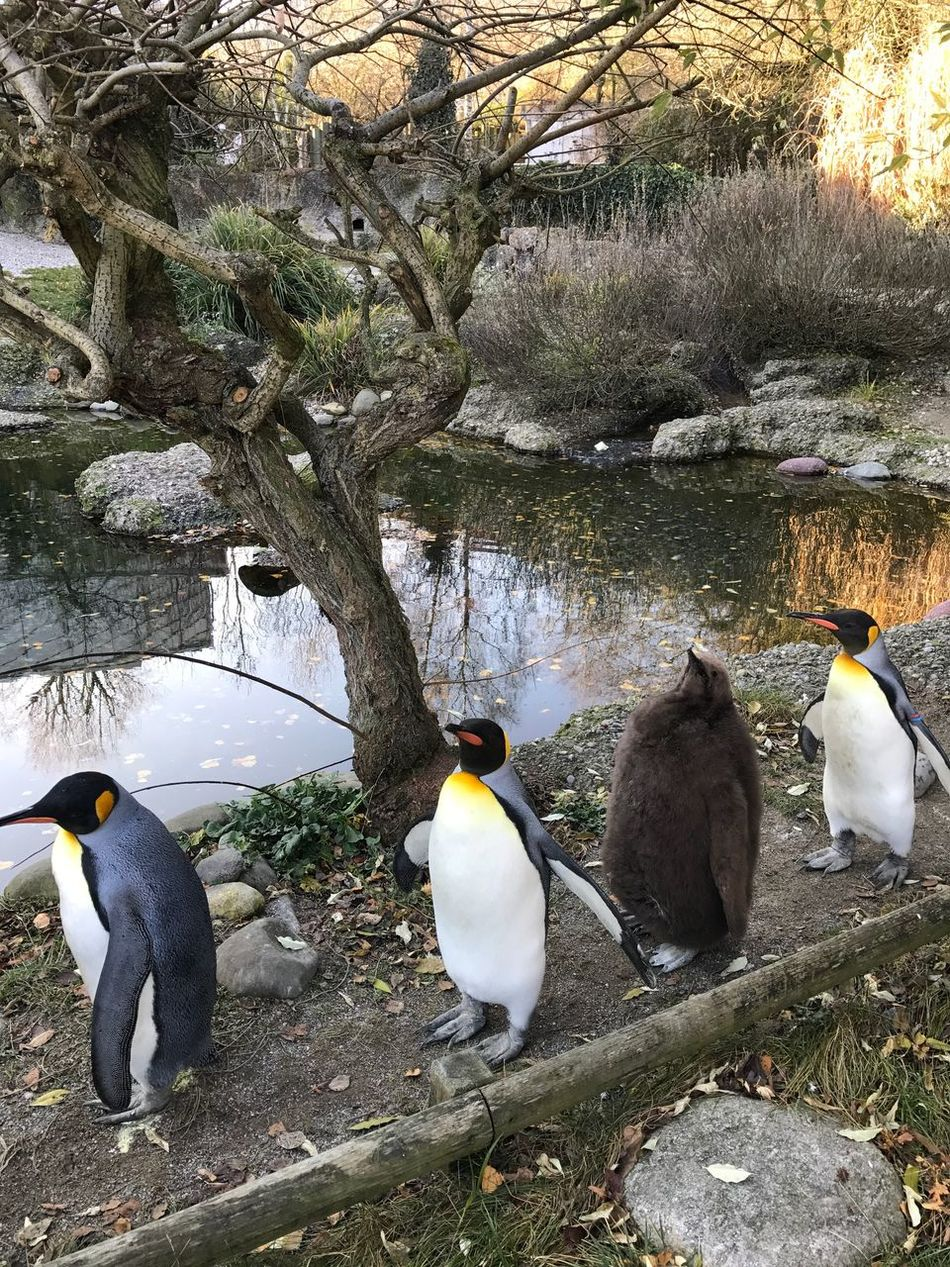 Bird Animals In The Wild Animal Themes Nature Penguin Birds Bird Photography Yearling Captivity Zoo Zoo Animals  Day Animal Wildlife Water Outdoors Tree No People Beauty In Nature EyeEmSwiss King Penguin Penguin Chick