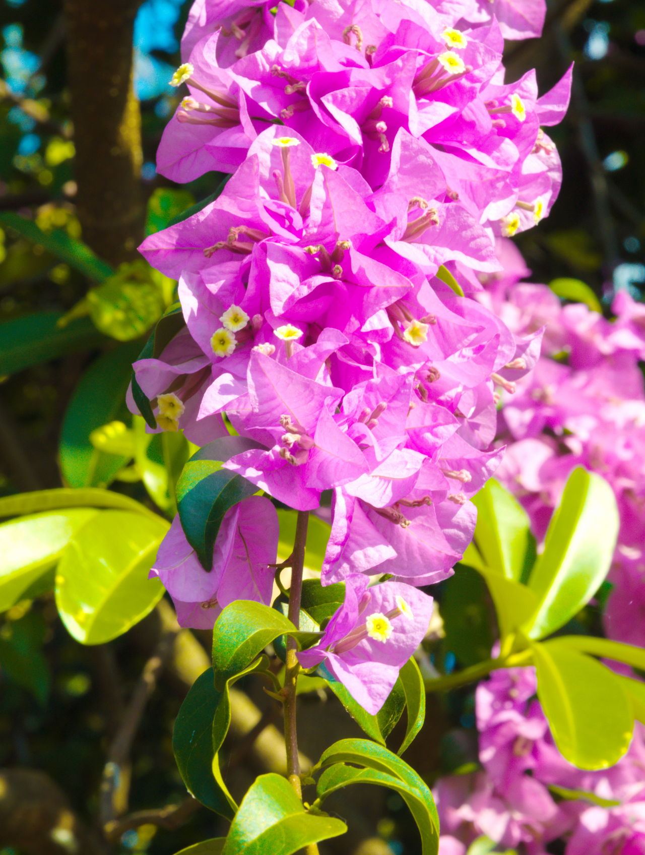 Pink Bougainvillea flower Beauty In Nature Blooming Bougainvillea Bougainvillea Flower Close-up Day Flower Flower Head Flowers,Plants & Garden Fragility Freshness Growth Leaf Leaves Nature No People Outdoors Petal Pink Flower Plant Purple