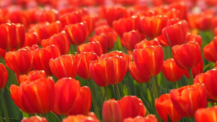 Flowers Blossom Springtime EyeEm Gallery EyeEm Shanghai Tulips