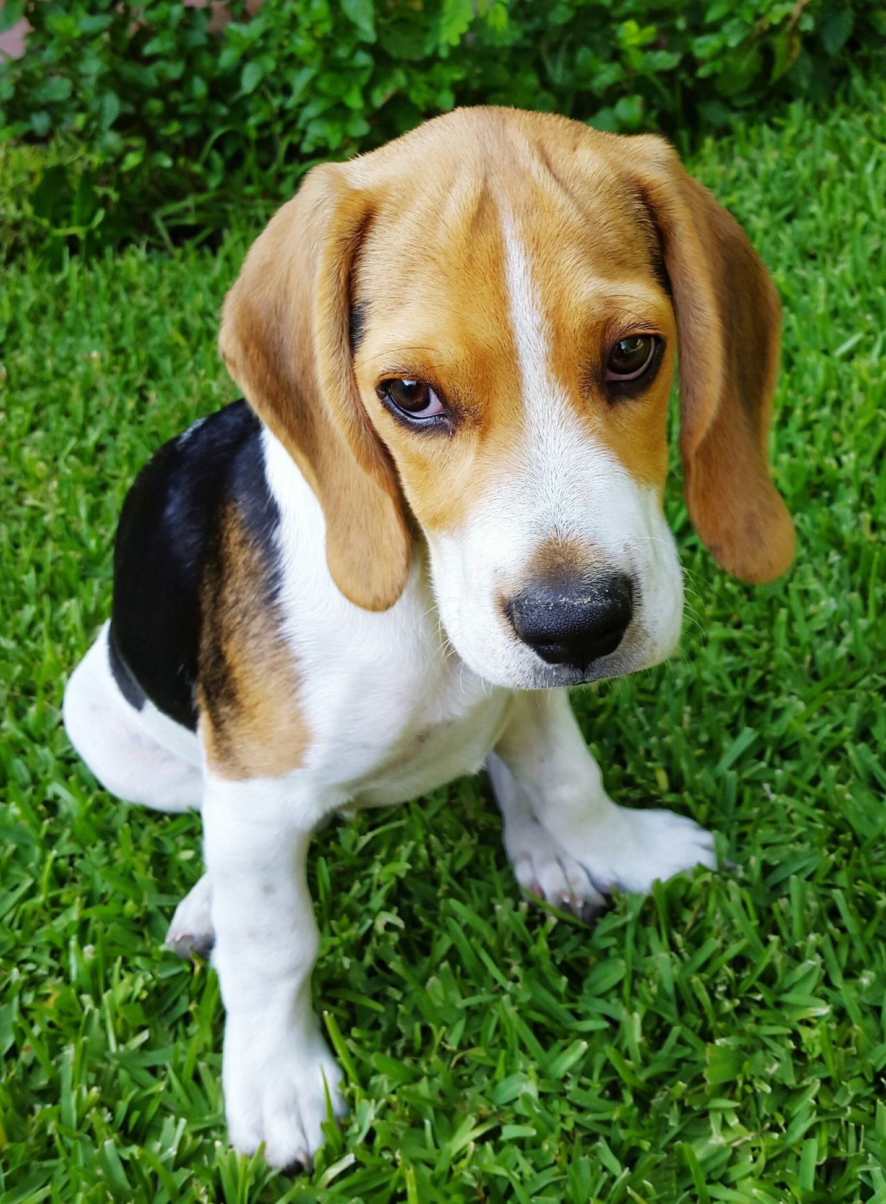 Beautiful stock photos of beagle, Animal Themes, Day, Dog, Domestic Animals