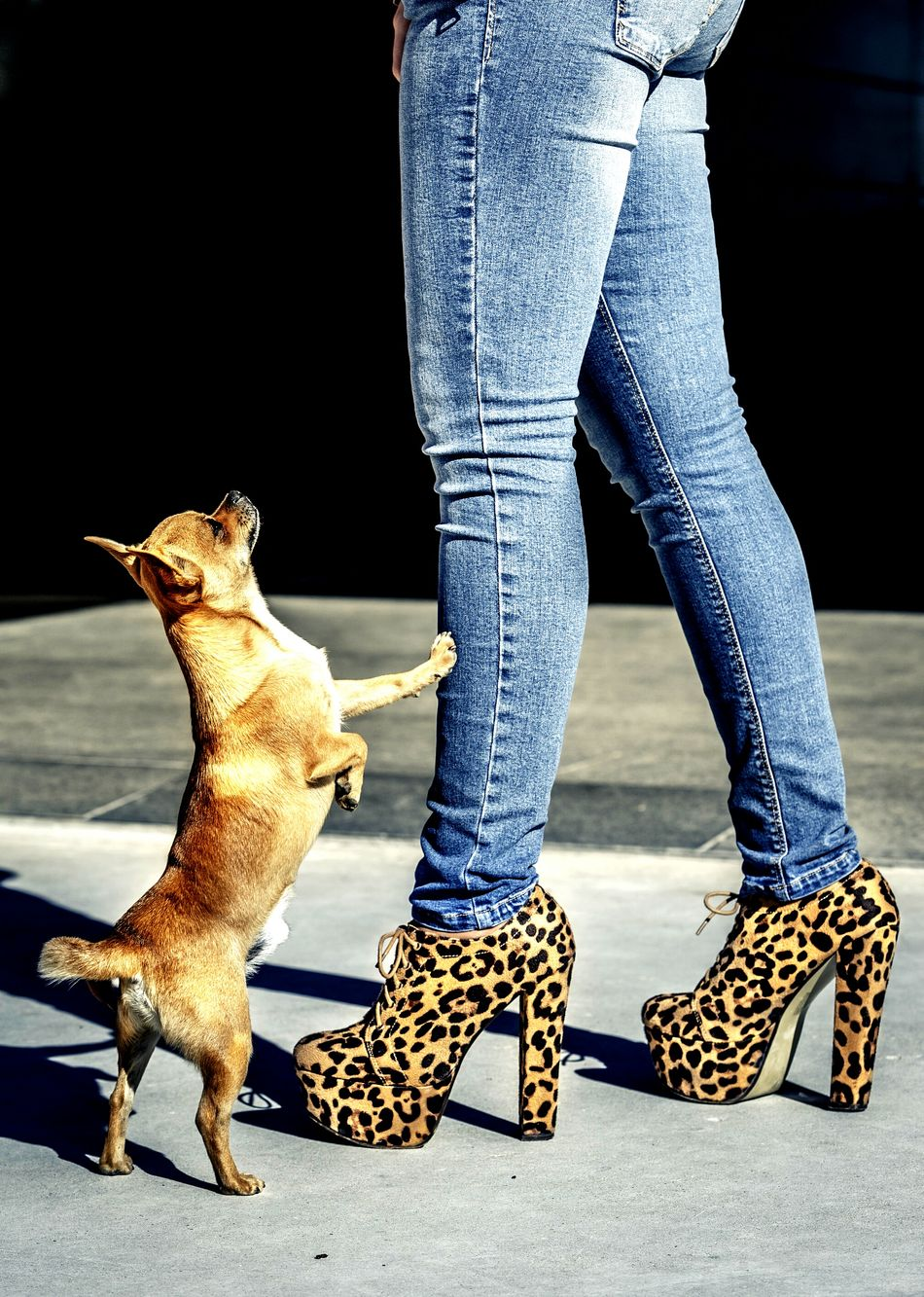 Beautiful stock photos of leopard, Animal Themes, Casual Clothing, Chihuahua - Dog, Day