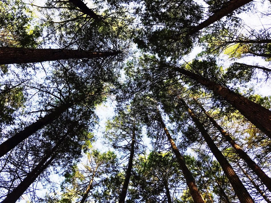 Tree Tall - High Trees Forest Nature Growth Tree Trunk Low Angle View Beauty In Nature No People Outdoors Day Sky Tranquility Tree Area Tree Canopy  Directly Below Branch WoodLand Green Color Scenics