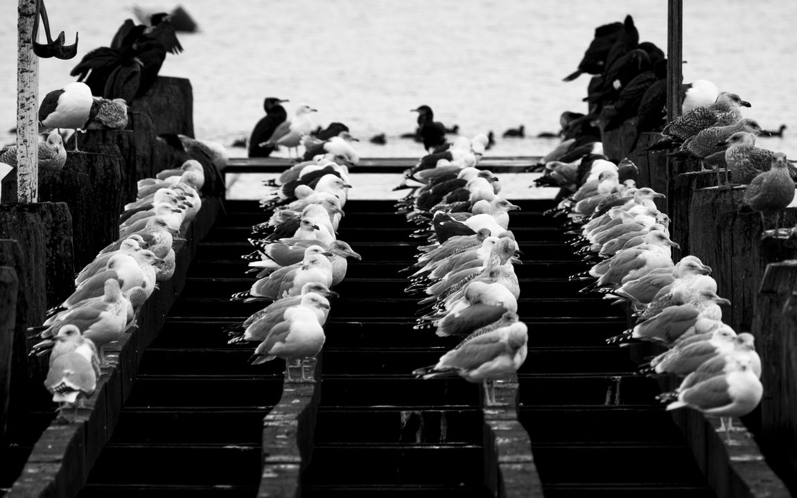 Sitting and waiting Baltic Sea Bird Photography Fresh On Eyeem  Large Group Of Animals Seagulls Sitting Winter Birds Blackandwhite Day Fujifilm In A Row Jetty Mooring Post Outdoors Travemünde Wooden Construction Shades Of Winter