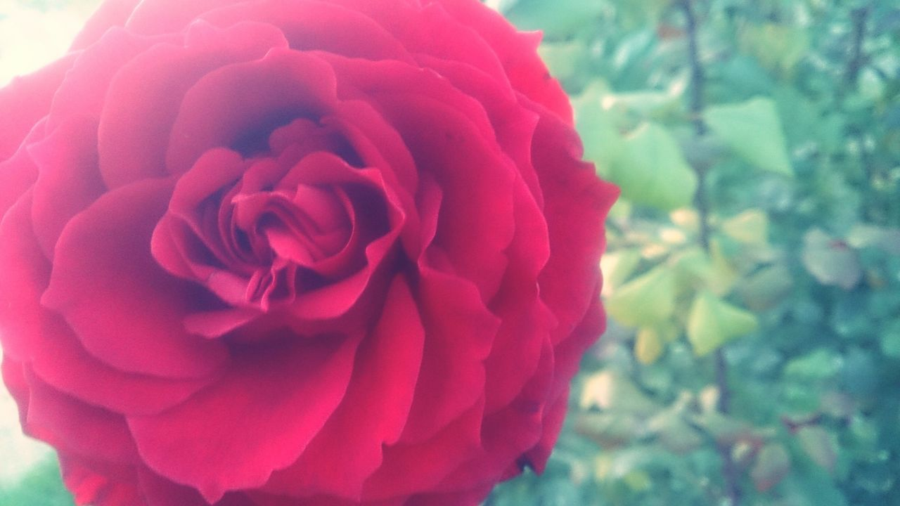 CLOSE-UP OF RED ROSE