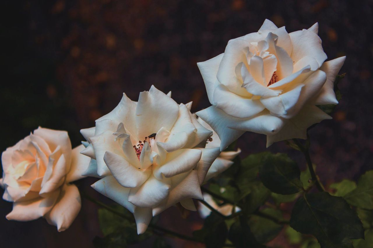 flower, petal, fragility, flower head, nature, beauty in nature, white color, rose - flower, freshness, growth, plant, wild rose, blooming, no people, outdoors, close-up, stamen, day, springtime
