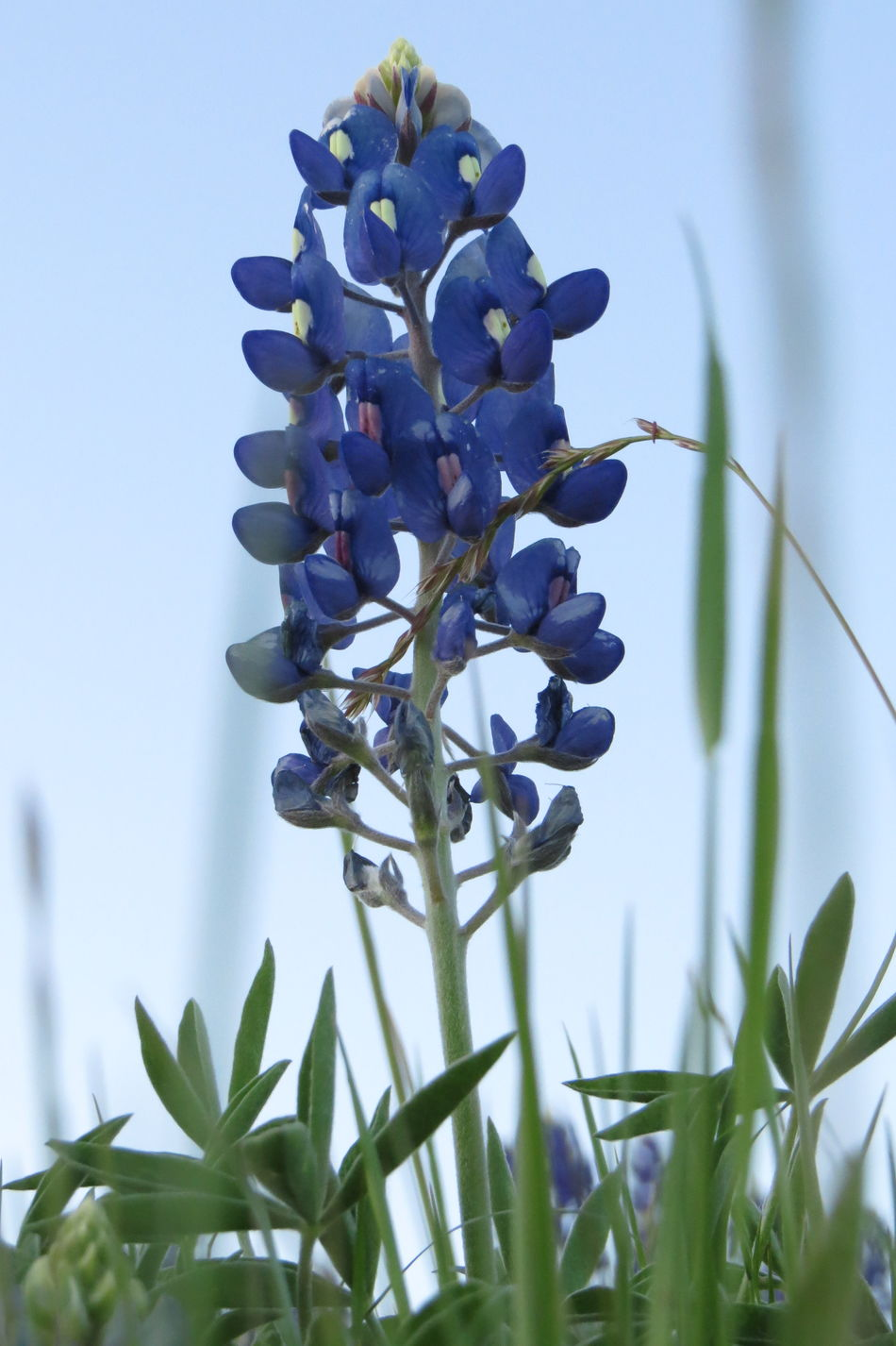 2016 Blue Blue Bonnets Close-up Don't Pick The Flowers Felony Focus On Foreground Freshness Growth Leaf Low Angle View Nature Plant Purple Spring Time State Flower Stem Texas Wild Wildflower