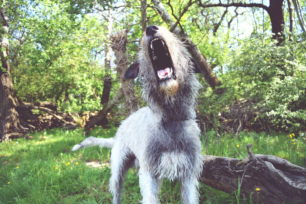 Taking Photos Check This Out Cheese! Hi! Barking Showcase May How's The Weather Today? Green Green Green!  Dogslife Irish Wolfhound Cearnaigh Dog Of Eyeem Dogwalk The Great Outdoors With Adobe Dog Love Pets Corner Dog Of The Day May 2016 Spring 2016 Dog Of The Year 2016 The Places I've Been Today My Favorite Photo Wooo Hooo! Let's Party! Woof Woof! Woof !