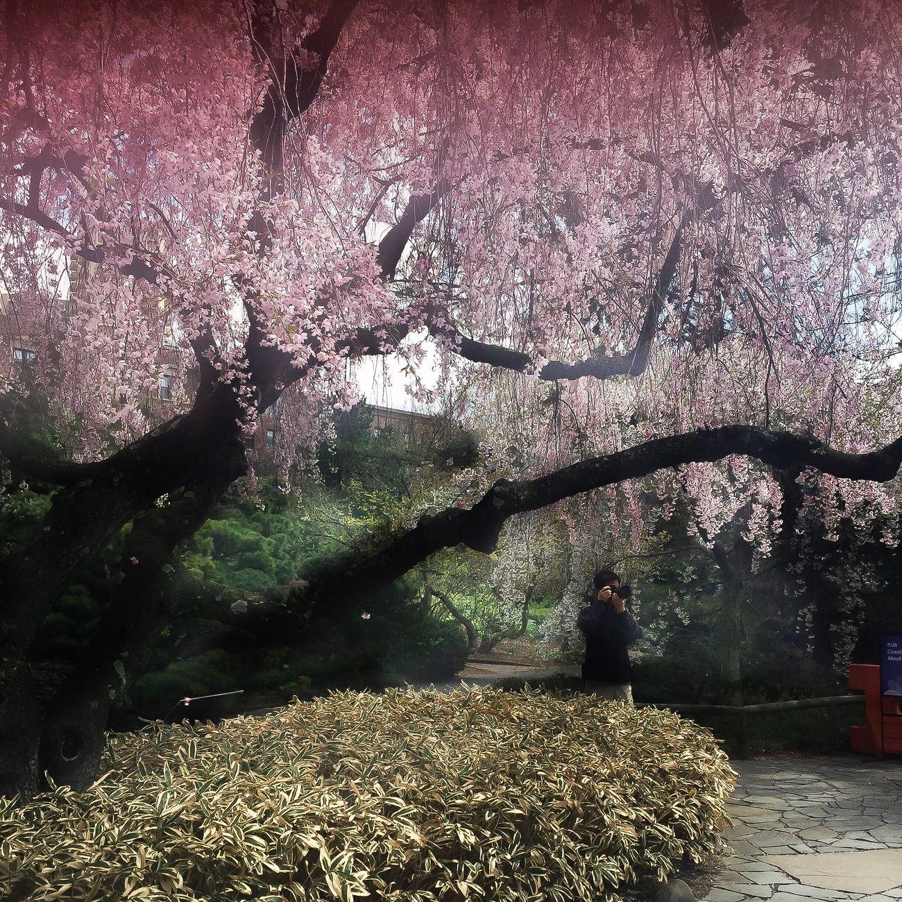 Sakura Blossom Spring NYC Flowers Taking Photos Taking Photos