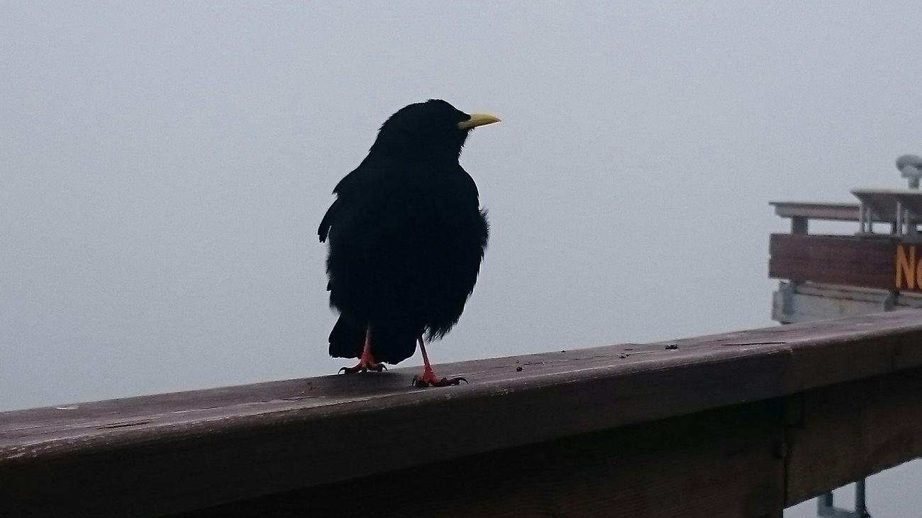 Nebelkrähen? Nebelhorn