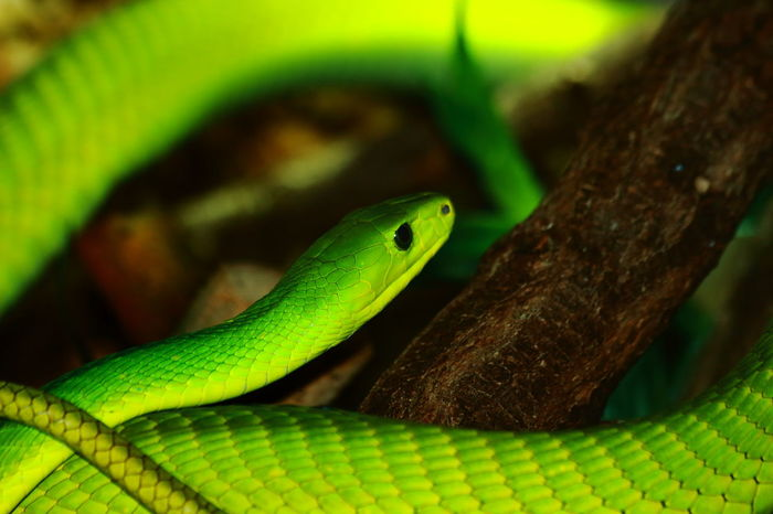 Amphibian Animal Animal Body Part Animal Head  Animal Themes Beauty In Nature Close-up Day Focus On Foreground Green Green Color Lizard Natural Pattern Nature No People Outdoors Selective Focus Snake Wildlife