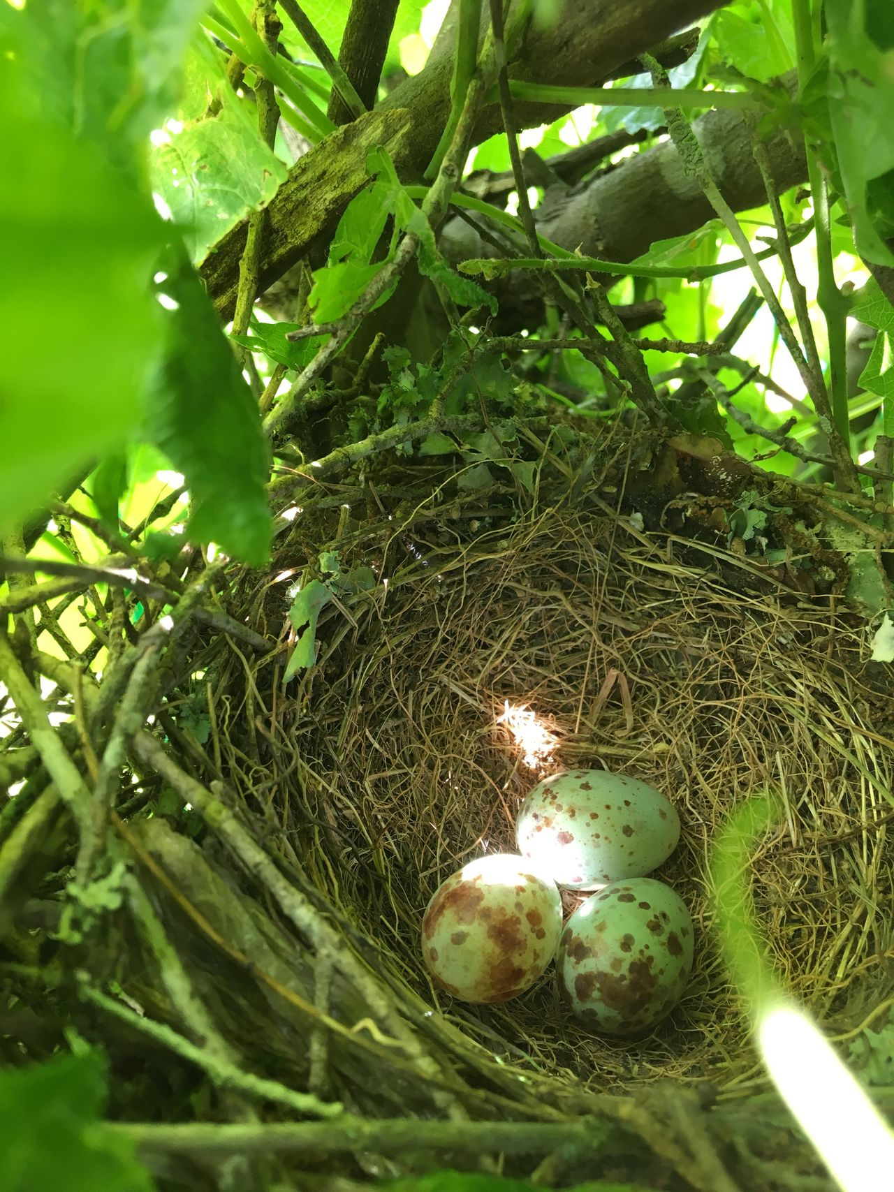 Mockingbird nest New Life Growth Bird Nest Nature Beginnings Green Color Fragility Leaf Outdoors Day Sunlight Through Leaves dappled sun Green Light Beauty In Nature IPhone Photography
