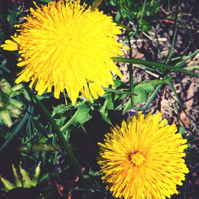 Nature Nature Photography Dandelion Flower