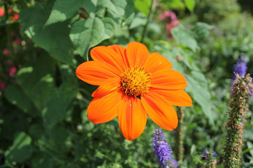 Beauty In Nature Blooming Close-up Day Flower Flower Head Focus On Foreground Fragility Freshness Green Color Growth Nature No People Orange Color Outdoors Petal Plant Pollen Zinnia