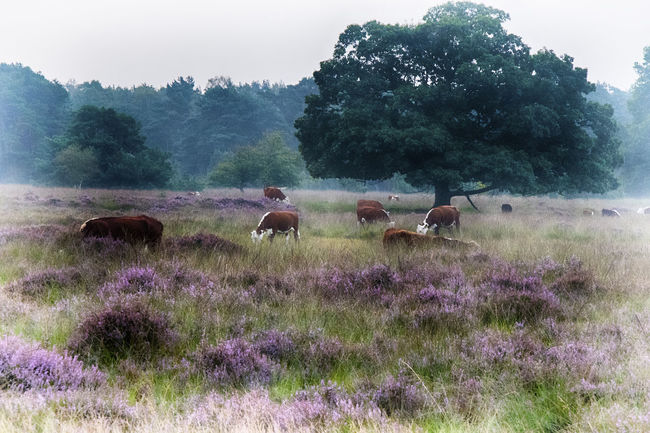 cows in early morning Cows Cows Grazing Dutch Landscape Heather Landscape Landscape #Nature #photography Landscape_Collection Landscape_photography Morning Light Nature On Your Doorstep Nature Photography Naturelovers Purple