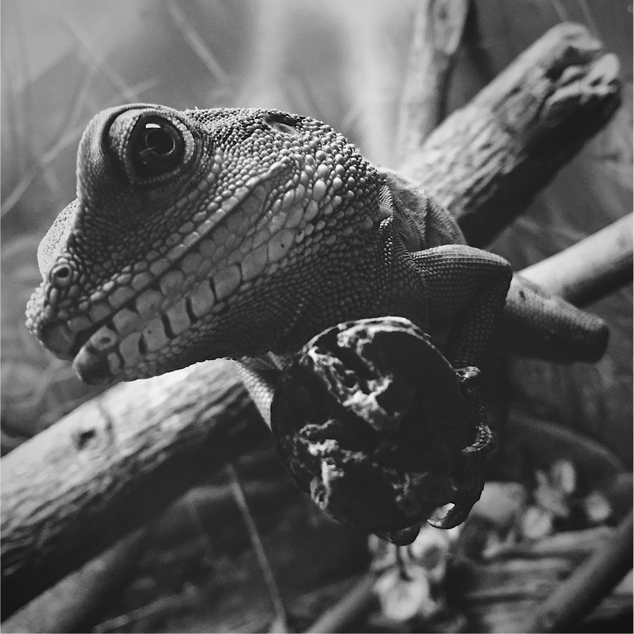 Animal Themes Animal Wildlife Animals In The Wild Brazil Natural Beauty Close-up Lizard Nature One Animal Reptile First Eyeem Photo