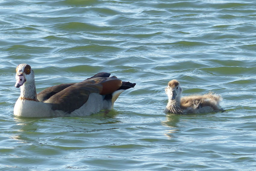Nilgans-Familie Animals In The Wild Water Animal Wildlife No People Outdoors Animal Themes Day Nature Swimming Mammal Bird Eye4photography  EyeEm Gallery Beauty In Nature Animals In The Wild Keep Calm And Shoot A Foto 📷