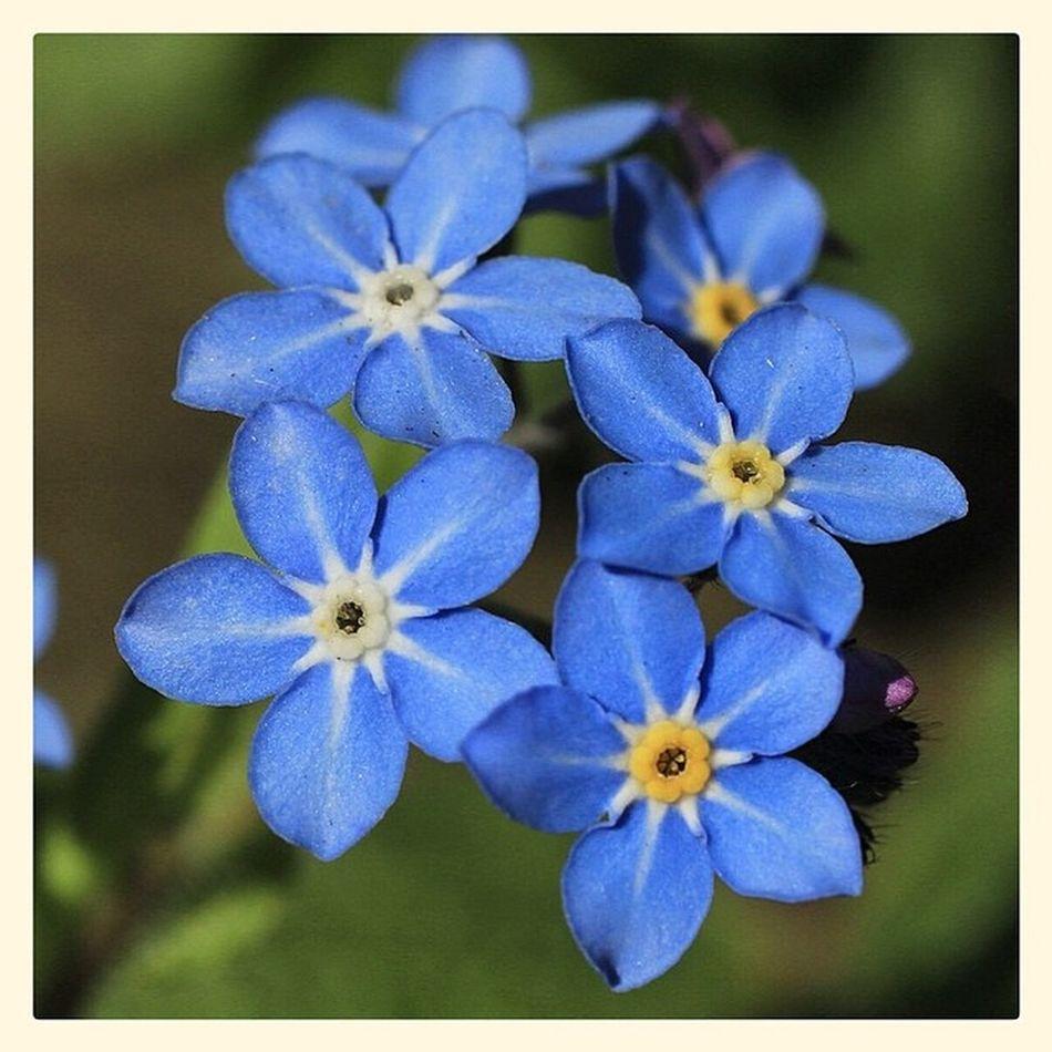 Myosotisarvensis Forgetmenot Snapseed Canon Canoneos700d Sigma50mm K8marieuk Katemariephotographyuk Flower Flowers Garden Plants Nature Blue Spring April Macro Closeup Detail
