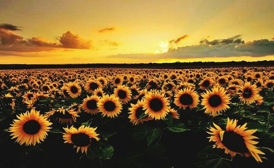 Sunset Flower Nature Beauty In Nature Beauty Freshness