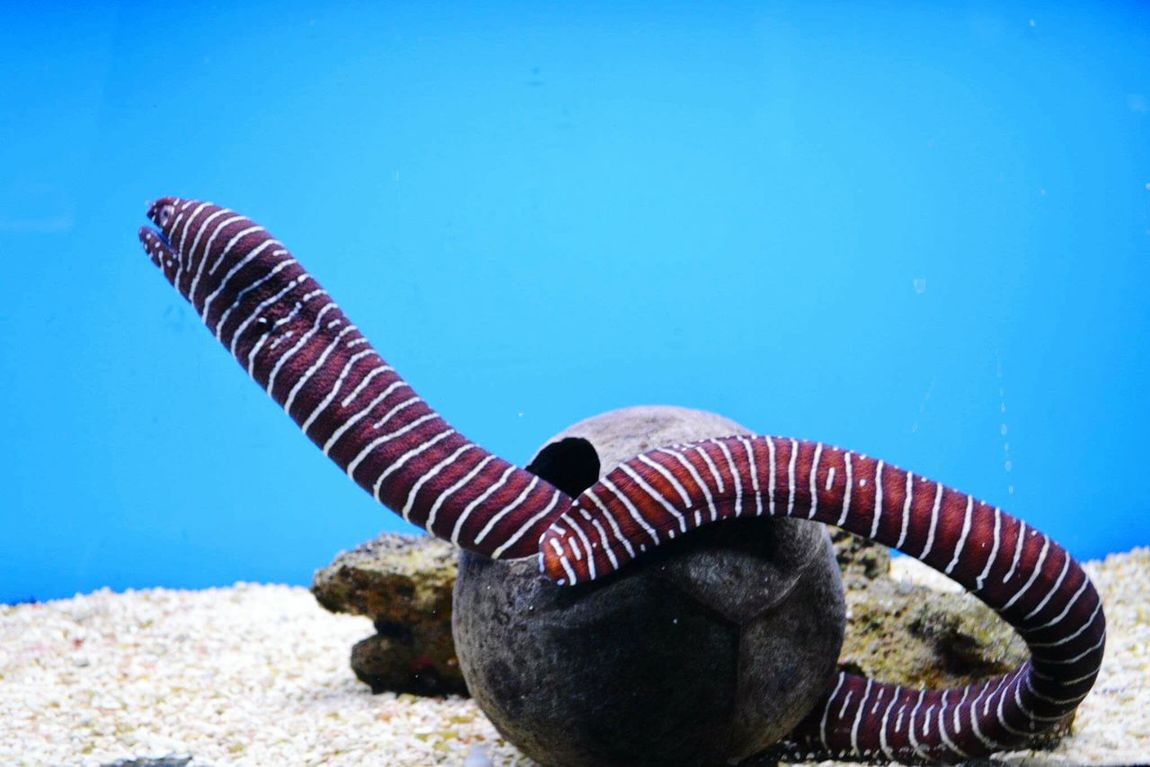 Electric eel in a coconut shell .. Electric Eel Fish Tank Fish Water Taking Photos Photo