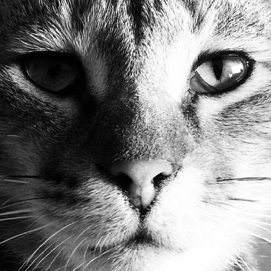 Catastrophy EyeOfTiger Eyes Lolly Ascloseasitgoes Catoftheday Cat Catitude