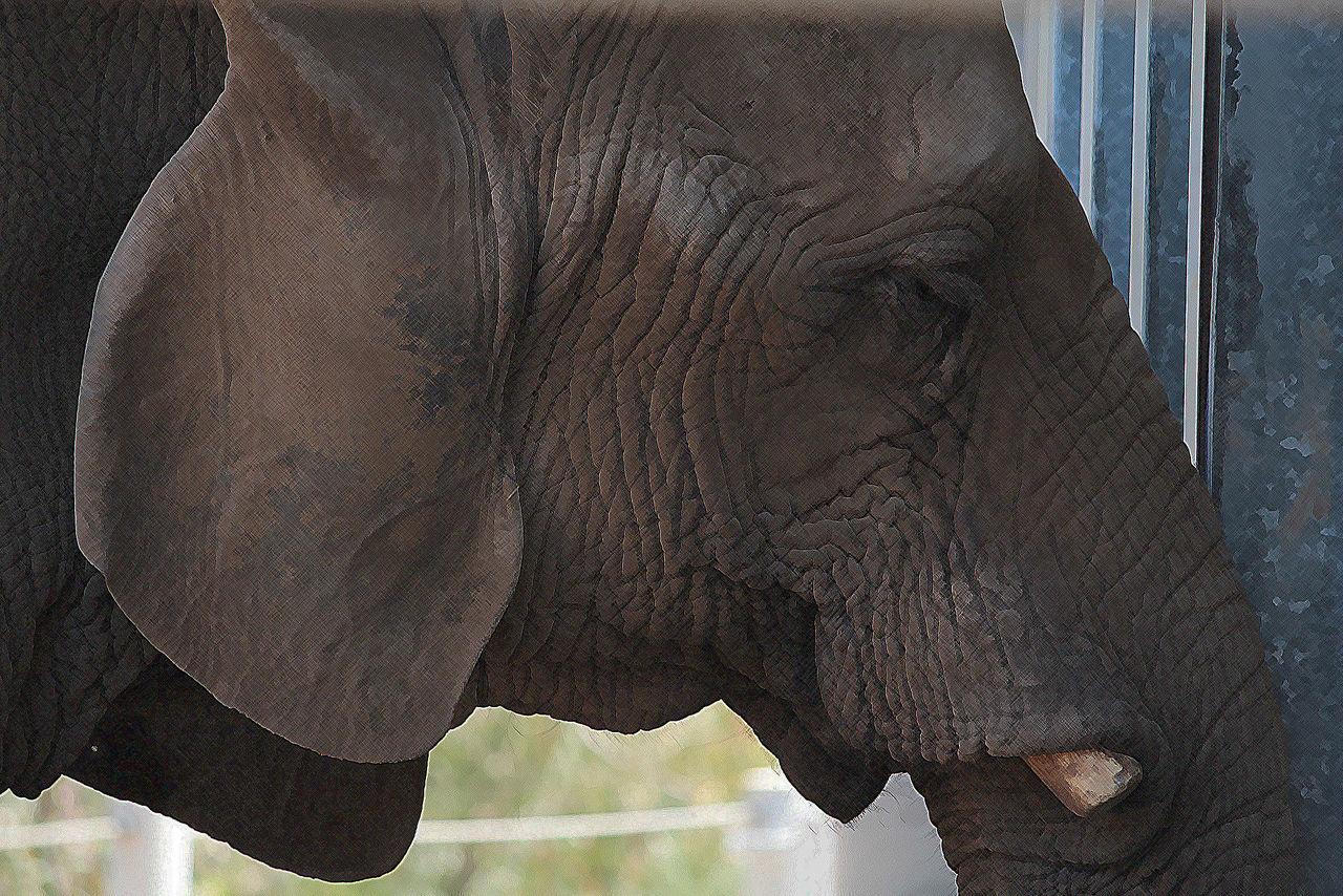 one animal, animal body part, no people, mammal, day, animal themes, outdoors, elephant, animals in the wild, animal wildlife, close-up, safari animals, tusk, rhinoceros, nature, animal trunk, african elephant