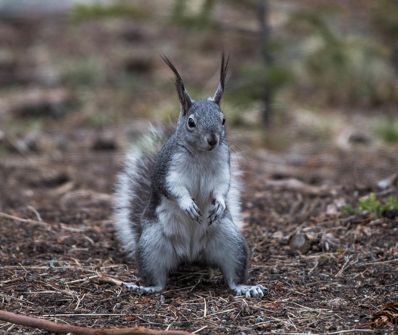 Abert's Squirrel Animal Wildlife Colorado Critter Ear Tufts Gray Squirrel Gray-white Squirrel Mountain Squirr Squirrel