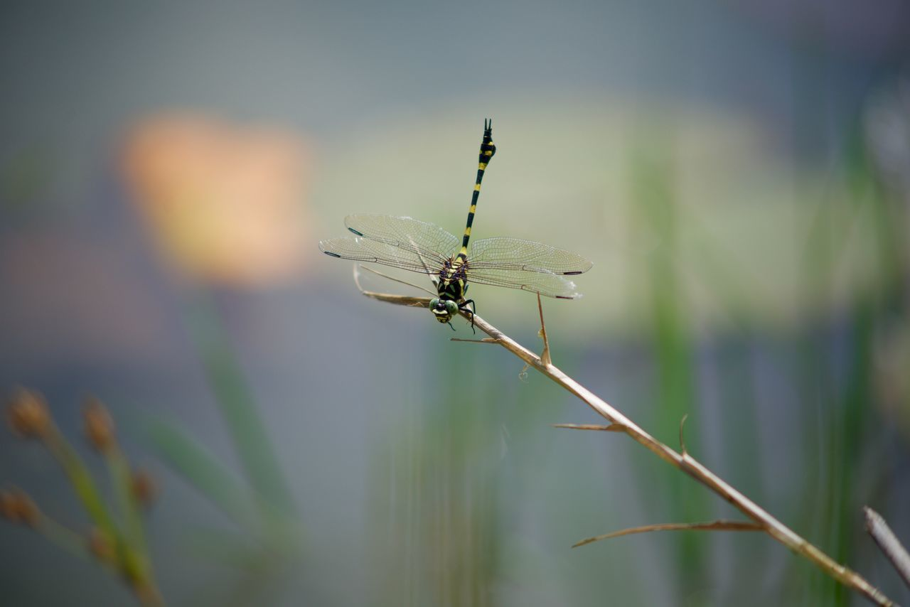 Beautiful Dragonfly nikon D610 nikon series E 75-150 f/3.5 manual lens iso 200 f3.5 1/3200s Animal Themes Bugs And Insects Bugs Life Bugs World Dragon Dragon Fly Dragonfly Dragonfly Closeup Dragonfly Eyeem Collection Dragonfly Macro Dragonfly Nature Insects Dragonfly Photography Dragonfly Series Dragonfly_of_the_day Dragonfly💛 Insect Nature Photography Nikon D610 Nikon Lens Nikon Macro 105 Nikon Manual Lens Nikon Series E 75-150 F/3.5 One Animal Pervane Bocegi Yusufcuk
