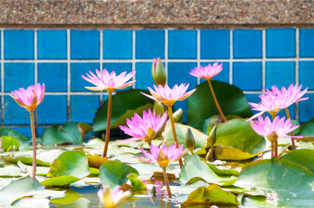 Beautiful stock photos of thailand, Beauty In Nature, Blooming, Blue, Botany