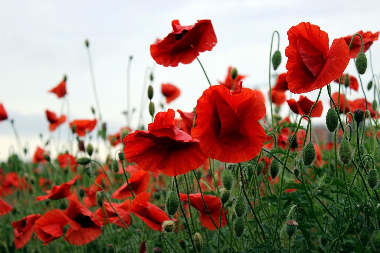 Flower Poppy Growth Red Plant Flower Head Blooming No People Field Springtime Poppy Flowers Poppy Fields Poppies  Red Flowers Beauty In Nature Landscape_Collection Landscape_photography Russian Nature