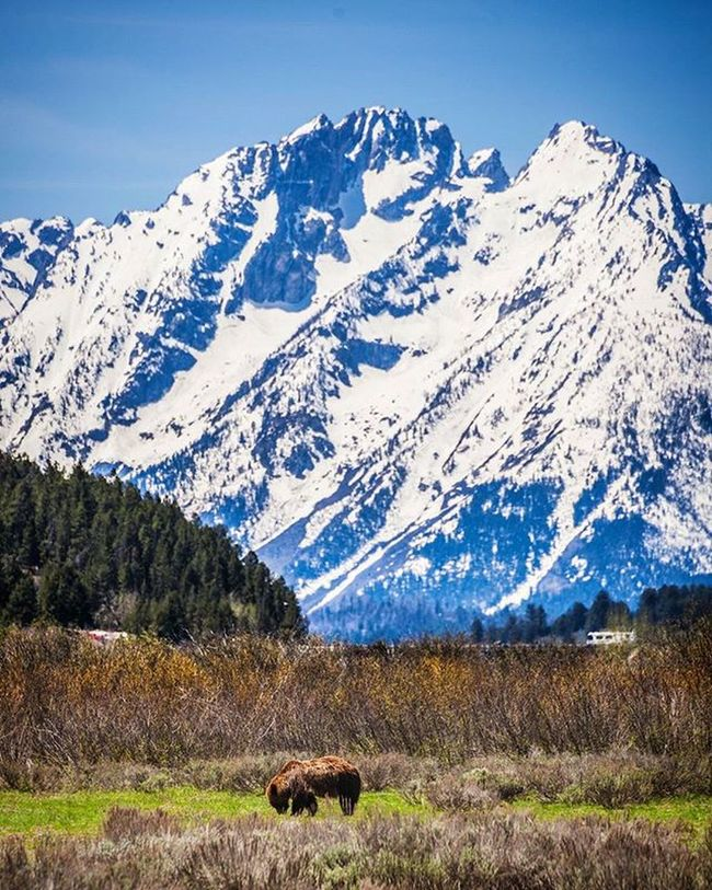 One of Grand Tetons Grizzly Bears foraging with the sharp peaks of the Tetons looking on from background. Dreamsofspring Grandtetonnationalpark Gtnp Grandtetons Mountaincrush Mountains Bear Grizzlybear Tetons Wyoming