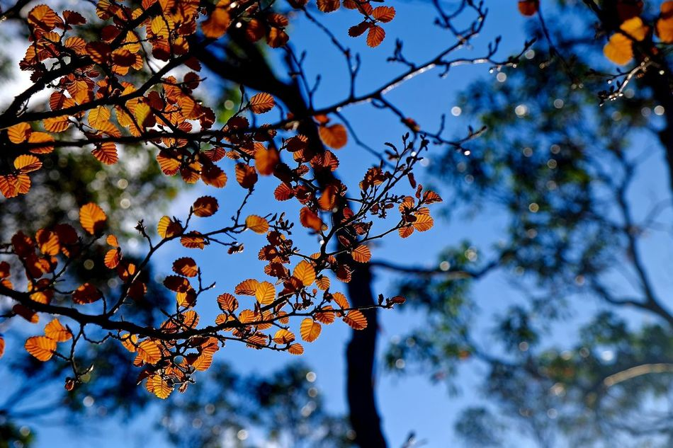 Beautiful golden fagus leaves Tree Nature Growth Branch Low Angle View Leaves Adapted To The City EyeEmNewHere EyeEm Nature Lover Tree Leafs Photography Fuji X-T1 Fujifilm FUJIFILM X-T1 富士 EyeEmBestPics Eye4nature Plant Beauty In Nature Outdoors Day No People Sky Close-up Freshness EyeEmNewHere Miles Away