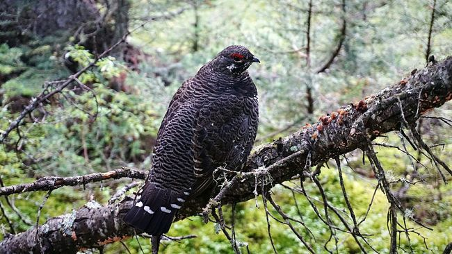 Chubby chicken Grouse Nature Bird Photography Hiking Hiking Adventures Foilage Woods Bokeh