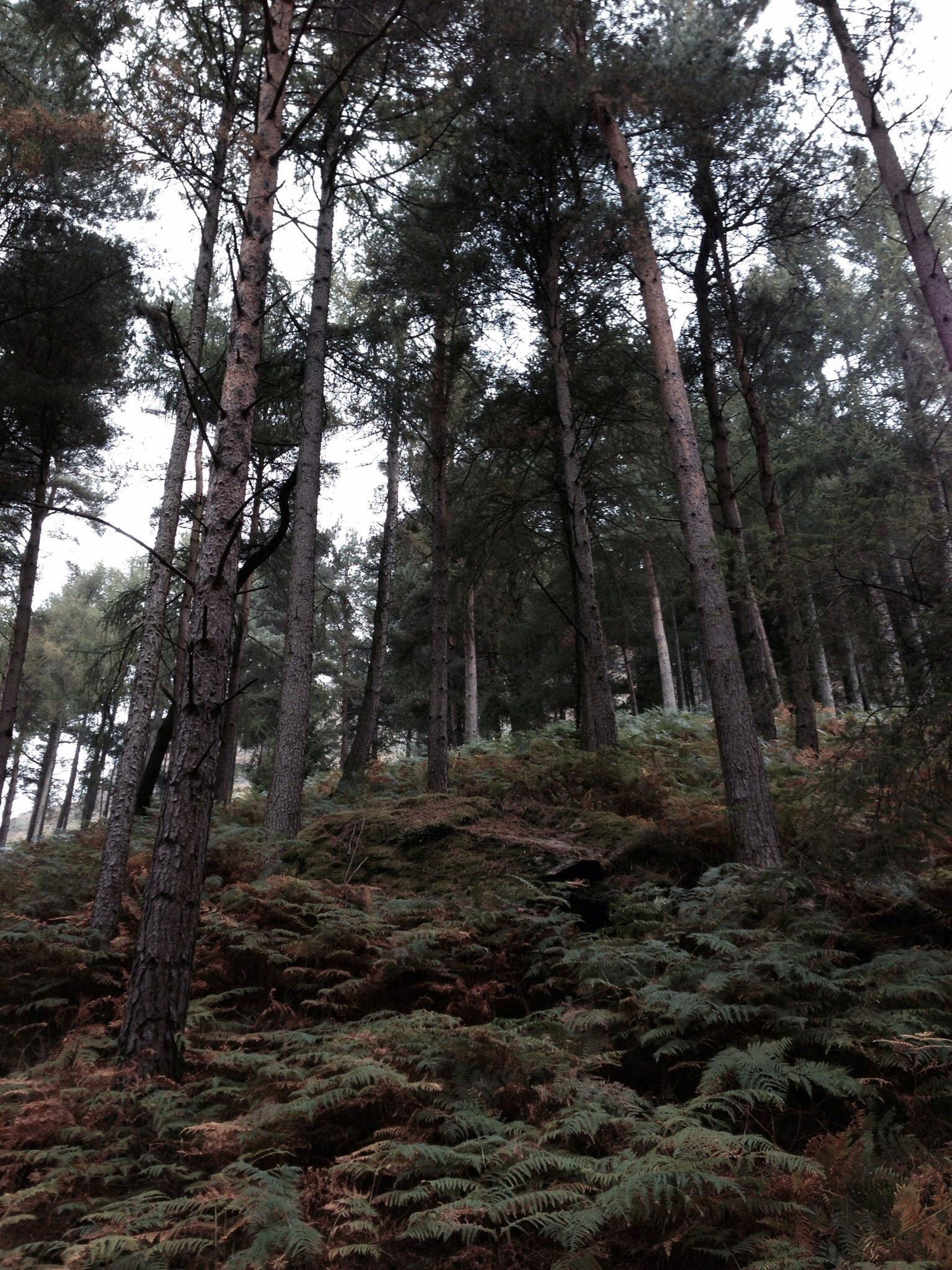 tree, forest, tree trunk, tranquility, woodland, growth, nature, tranquil scene, low angle view, beauty in nature, scenics, non-urban scene, branch, day, outdoors, landscape, no people, tall - high, idyllic, non urban scene