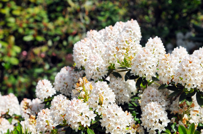 white Rhododendron bush bloom in springtime. park. Bush Close-up Day Flower Flower Head Fragility Nature No People Outdoors Plant Rhododendron Rhododendron Blossoms Rhododendronblossoms Rhododendroninbloom Rhododendrons White White Color White Flower